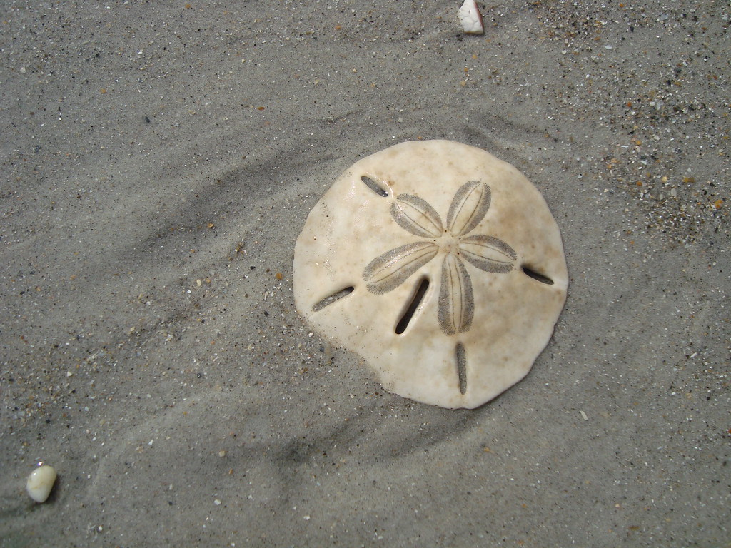 Hd Photos 3d Wallpaper Sand Dollar On The Beach Keyhole Urchin Sand Dollar Test