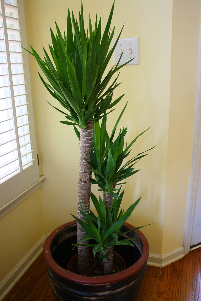 Ikea Pictures Ikea Yucca | Hope He's Hardy. | Beckminster | Flickr
