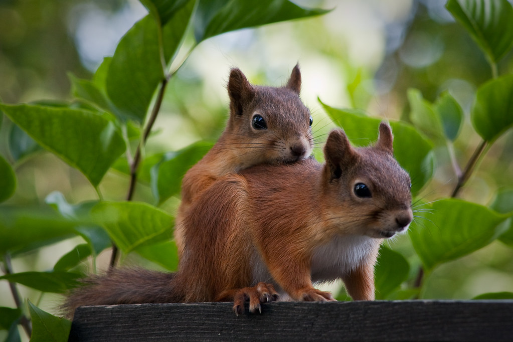 Free Fall Wallpaper 1920x1080 Squirrel Love Two Squirrels Turku Finland Ligthing Is