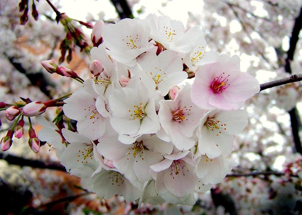 3d Cherry Blossom Wallpaper Rosaceae Prunus X Yedoensis Yoshino Somei Yoshino Ch