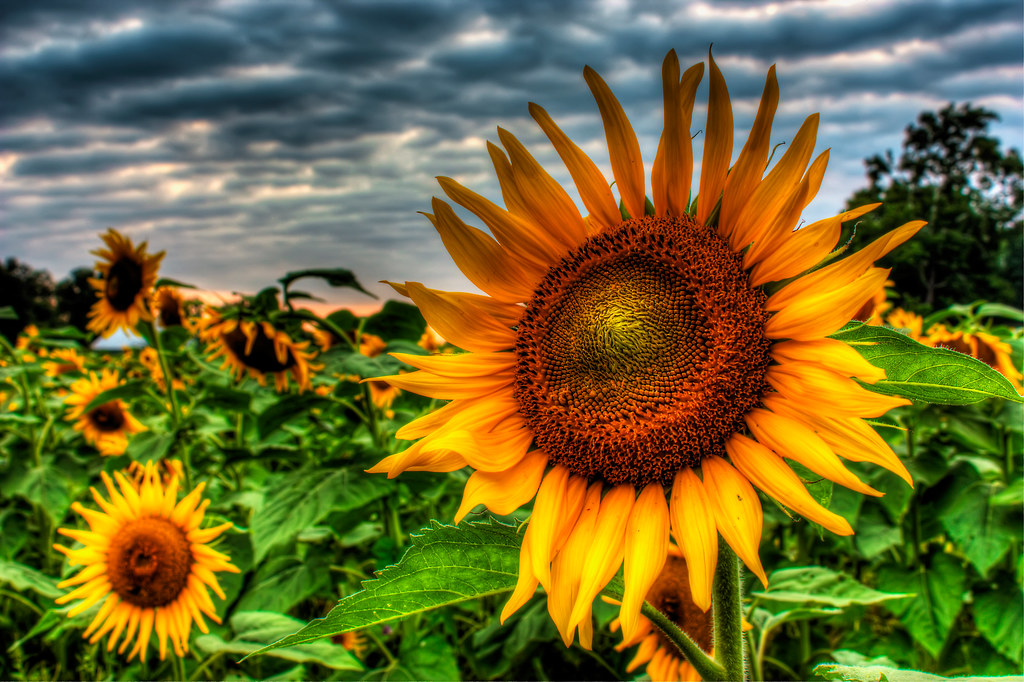 3d Easy Sunflower - Hdr | I'd Actually Been In The Market To Get