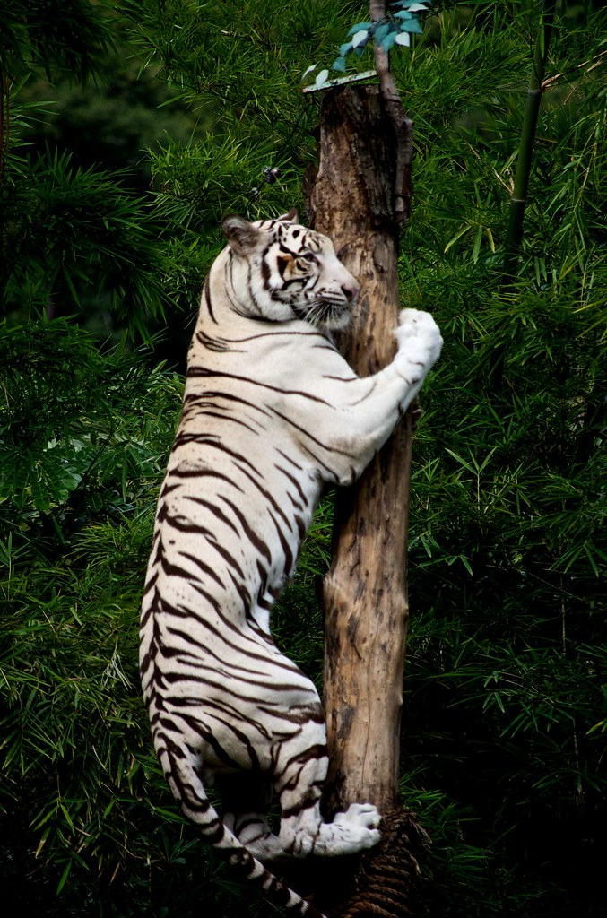 Jungle Wallpaper With Animals Climbing White Tiger This Climbing White Tiger Was Part