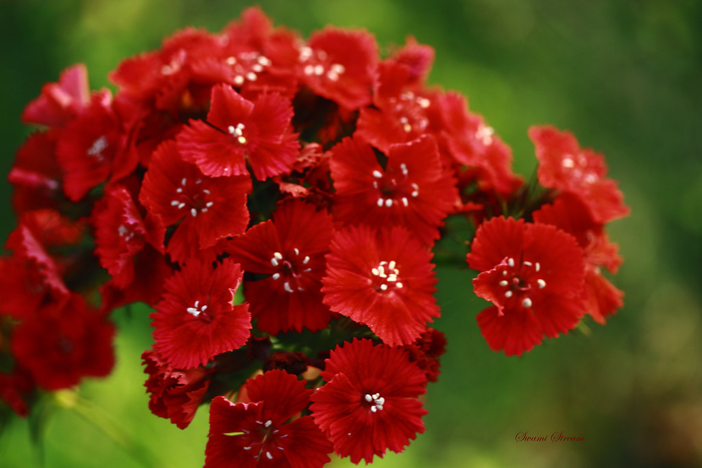 3d White Flower Wallpaper Red Dianthus I Shot Them At Hiht In Jolly Grant Near