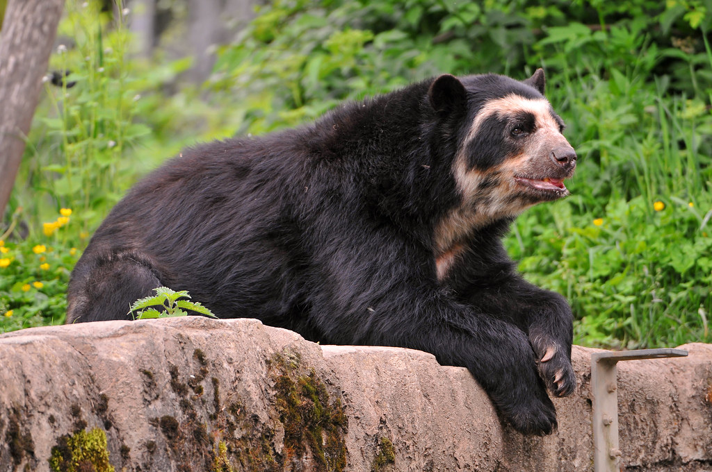 Pitbull Wallpapers 3d Lounging Spectacled Bear I Finally Thought About