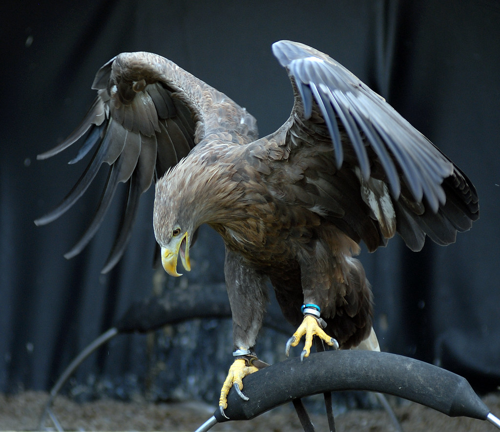 Wallpaper Seram 3d White Tailed Sea Eagle You Might Want To Take A Look At