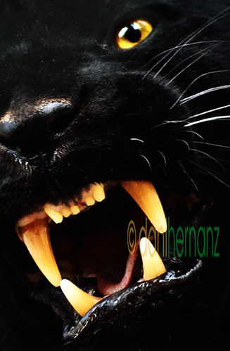 Pantera Animal Wallpaper Negro Jaguar Daniel Hernanz Flickr