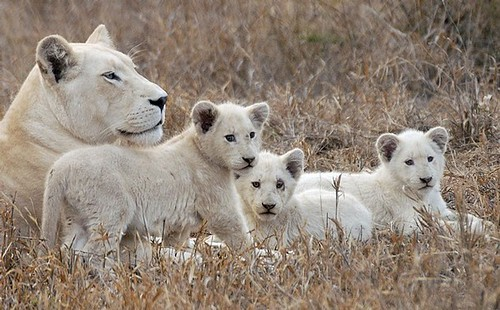 3d White Lion Wallpaper White Lions A Rare White Lion Lies With Her Cubs At The