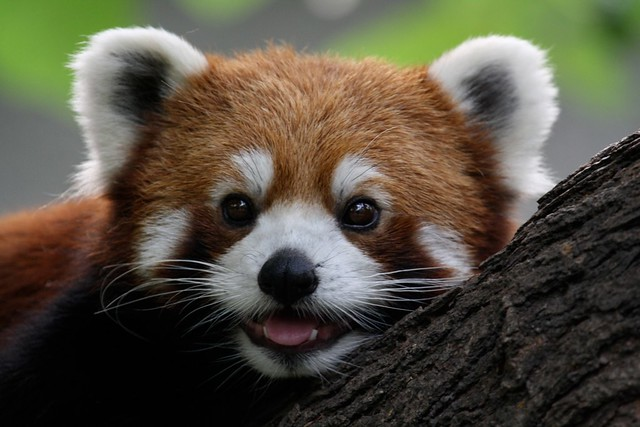 Black And Red 3d Wallpaper Red Panda Red Panda This Species Is Also Very