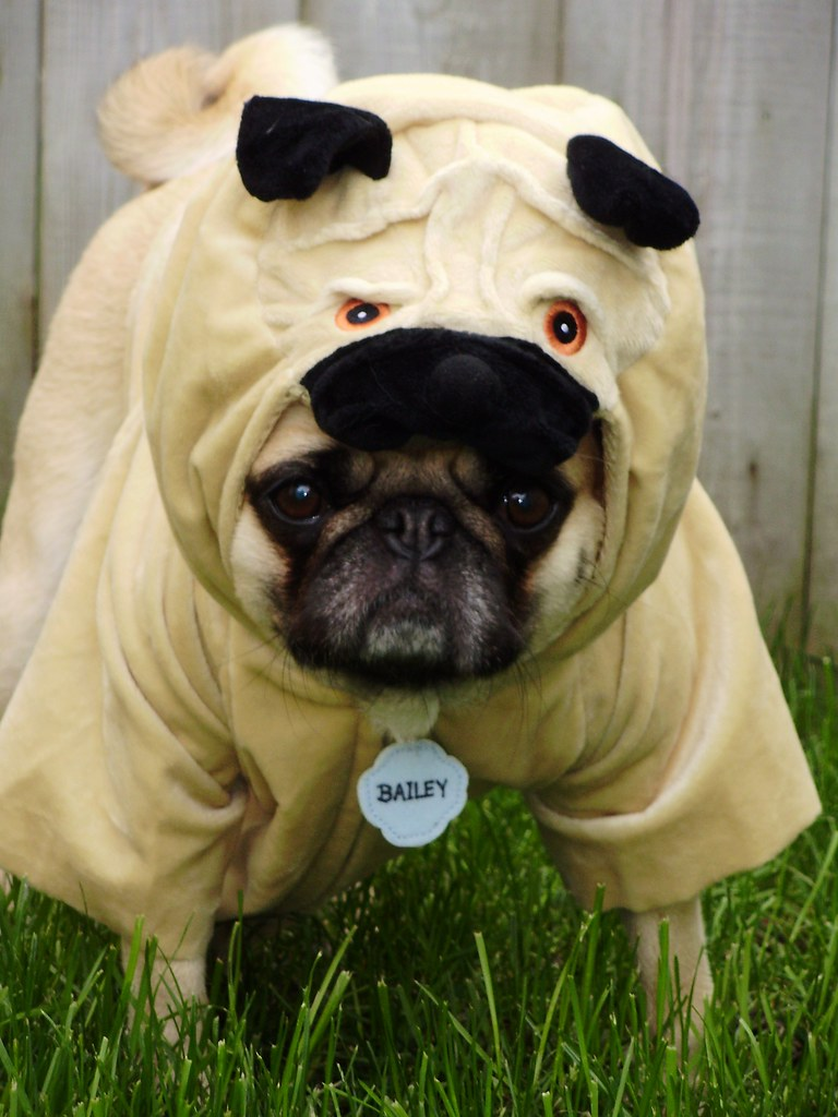 3d Wallpaper In Bangalore Pug Costume Pugception Cute As A Pug In A Pug Flickr