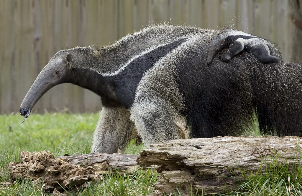 Cute Baby Pig Wallpaper National Zoo S Baby Giant Anteater It S A Boy The Baby