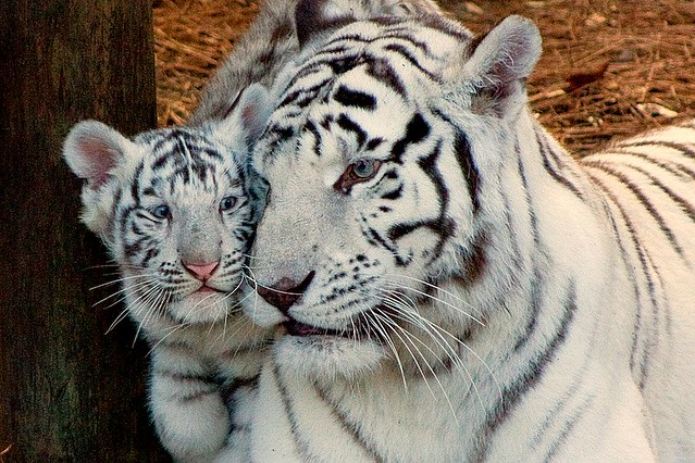 Cubes 3d Wallpaper Tiger Cub With Mother Another Shot Of The White Tiger