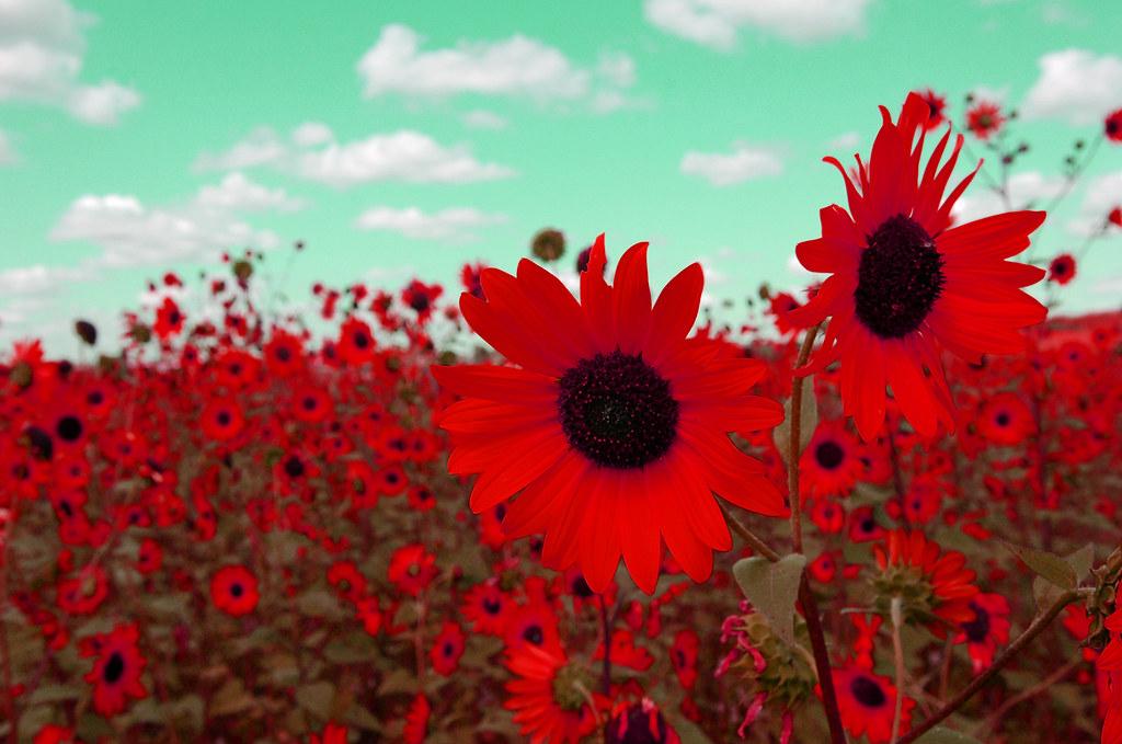 Fall Sunflower Wallpaper Red Sunflower Miguel Nunez Flickr