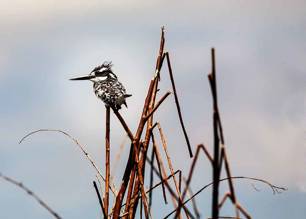 king fisher 1493