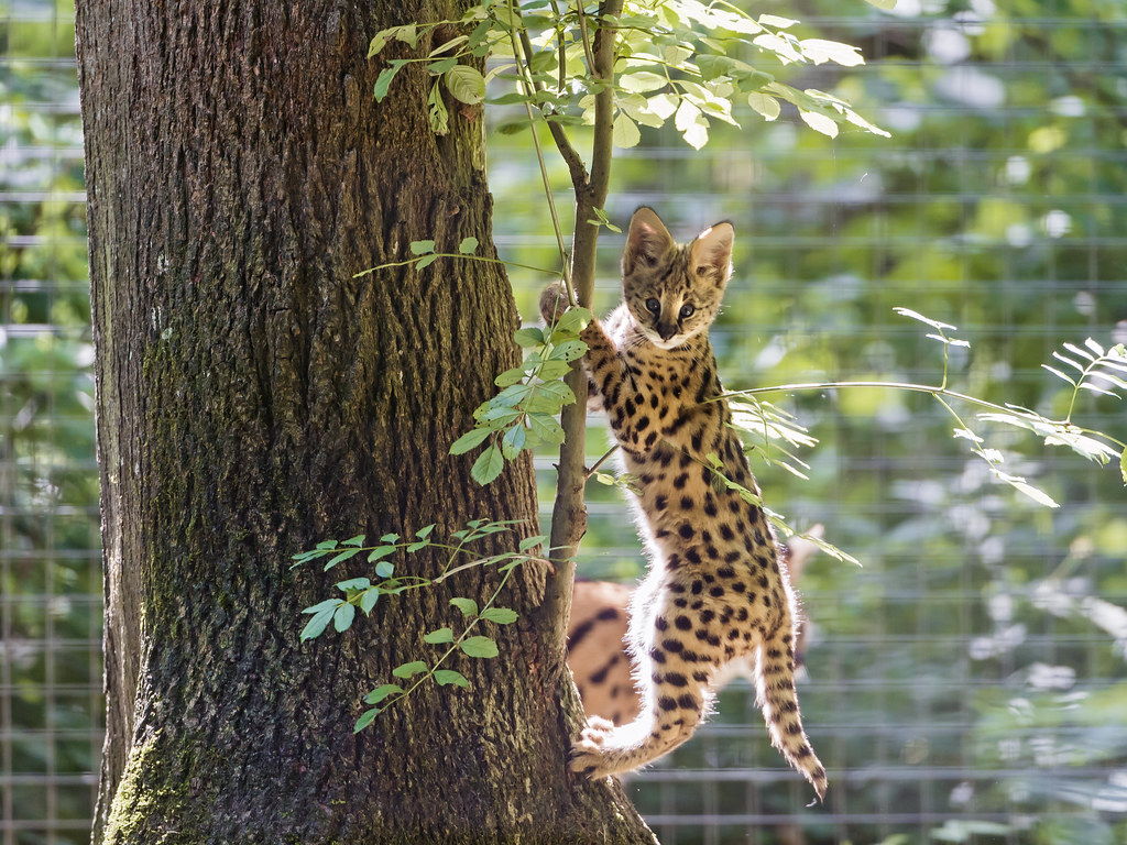Cat Wallpaper 3d Climbing Serval Kitten Ii Cute Serval Kitten Climbing