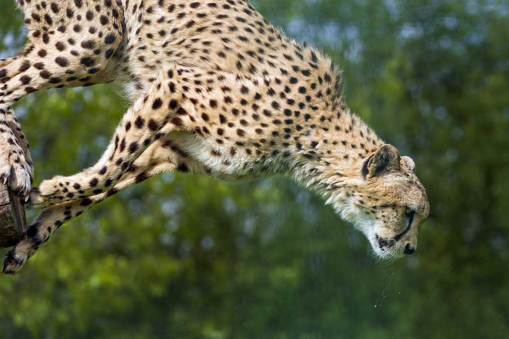Wallpaper Hd 3d Black And White Murphy Jumping This Is Murphy The Male Cheetah Doing