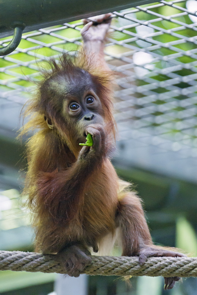 Baby Babies Baby Orangutan Eating On The Rope Another Picture Of The