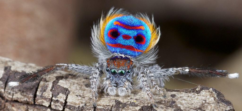 Cute Camera Wallpaper X8a6276 1 Peacock Spider Maratus Speciosus I Found A