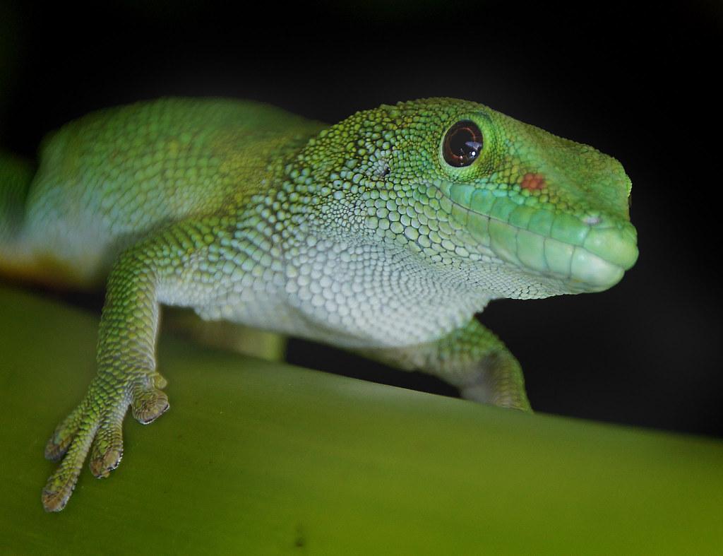 3d Colour Wallpaper Madagascan Day Gecko Scientific Name Phelsuma