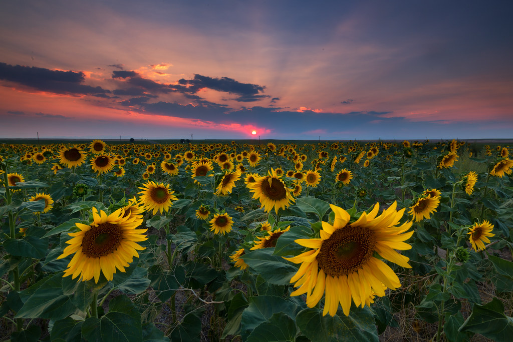 Fall Sunflower Wallpaper Sunflower Sunset Last Night I Went Out To Dia And Wanted