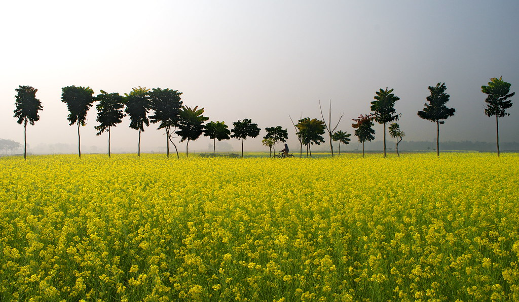 Free 3d Scenic Wallpaper The Mustard Field And The Winter Morning At My