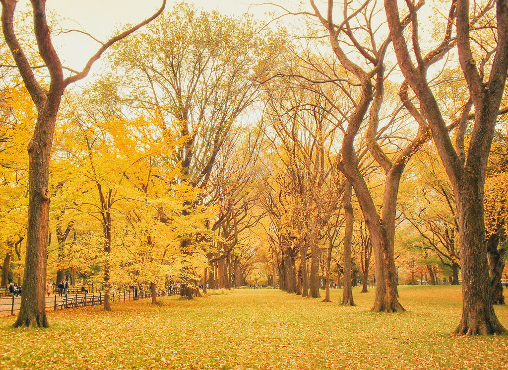 Fall In Central Park Wallpaper New York Autumn Central Park Elm Trees With Fall Foliage