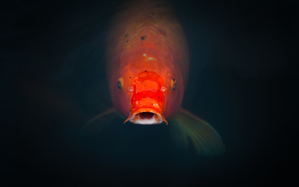 Hd Wallpapers For Ubuntu How Koi Desktop Background Wallpaper From A Visit To