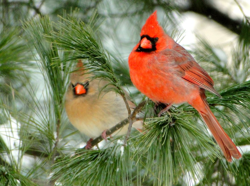 Live Snow Falling Wallpaper For Desktop Northern Cardinal Male And Female Jmc Nature Photos Flickr