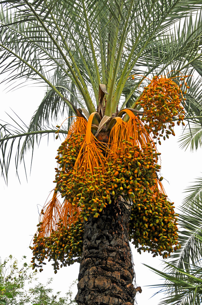 Jarvis 3d Wallpaper Italy 2759 Date Palm Tree Please No Multi Invitations