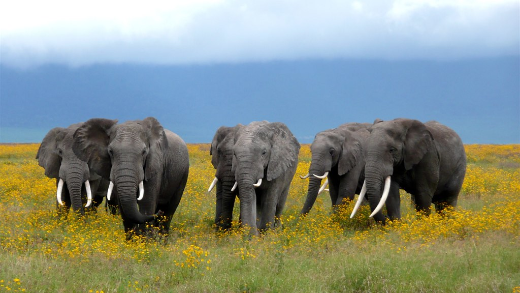 Sangita 3d Wallpaper African Elephant Herd Ngorongoro Crater In Tanzania