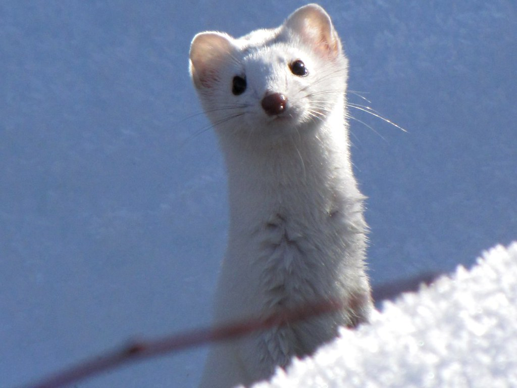 Lightning 3d Wallpaper Snow Weasel A Cropped Reposting Of The Long Tailed