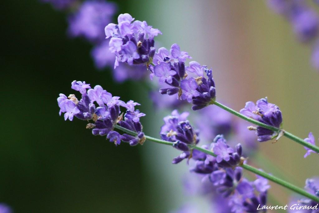 N Wallpaper 3d Hd Photo De Fleurs De Lavande Bleu En Gros Plan Je Vous