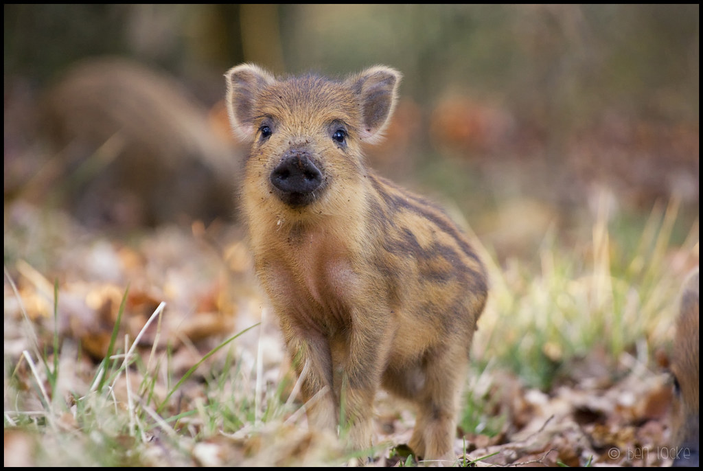 Cute Piglets Wallpaper Wild Boar Sus Scrofa Another Shot From This Encounter