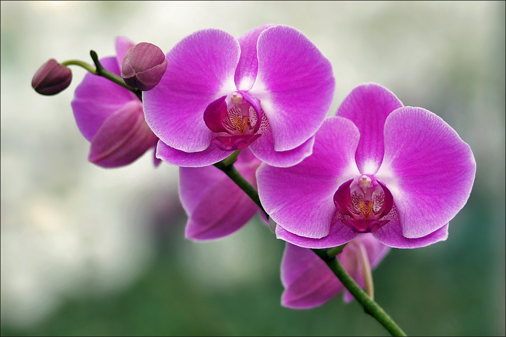 Wallpaper Primavera Hd Phalaenopsis Orchid In Bloom Phalaenopsis Is An Orchid
