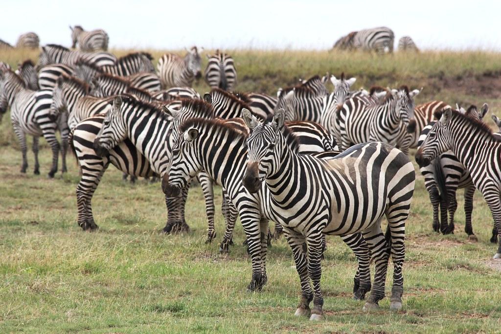 Kids Animal Wallpaper Herd Of Zebras In Serengeti Filip Lachowski Flickr