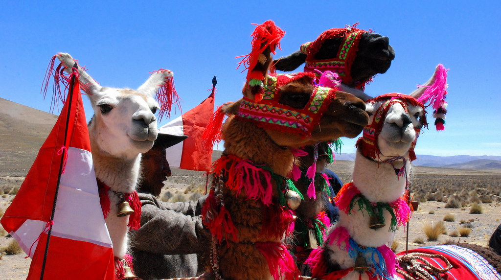 3d Colourful Wallpaper Llamas Colca Canyon Peru These Colourful Animals