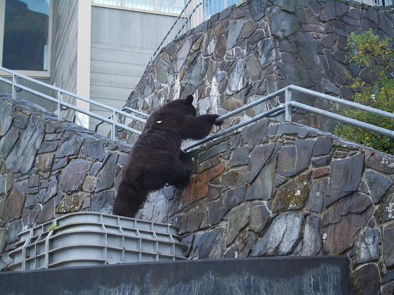 3d Bear Wallpaper Bear At Mendenhall Glacier Visitor Center Photo Courtesy