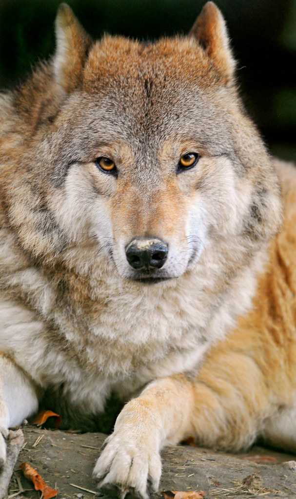 Nice 3d Wallpaper Fluffy Wolf Lying Comfortably The Wolves Of The Zoo Of