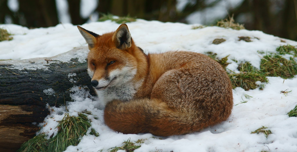 3d Wallpaper Fire Fox In The Snow At The British Wildlife Centre