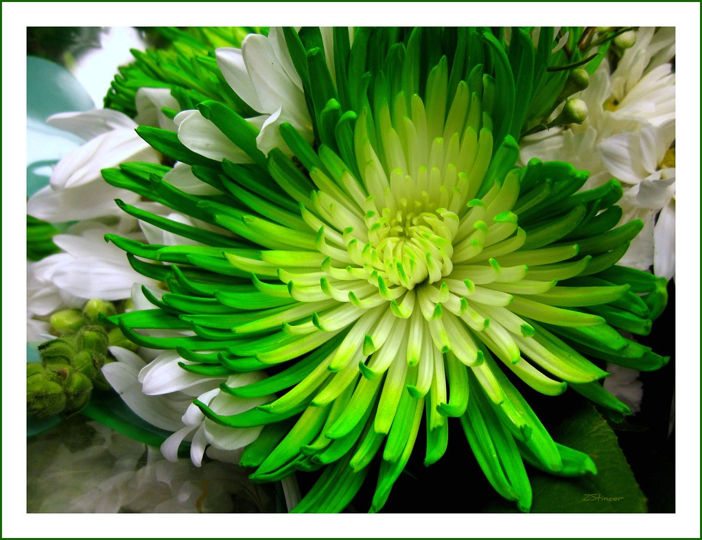 Www Check 24 Green Dahlia | Miami Fl. Usa. Thanks Everyone Check It Out