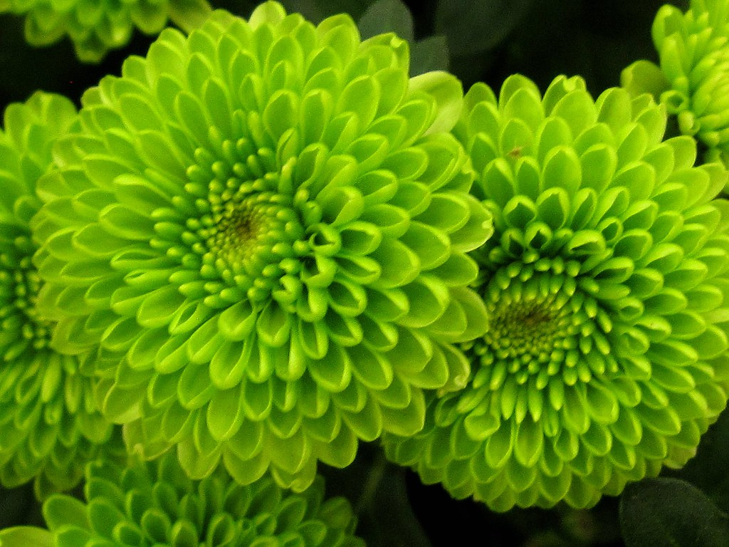 Mobil Hd Wallpaper All Green Chrysanthemum Flowers Miami Fl Usa Thanks