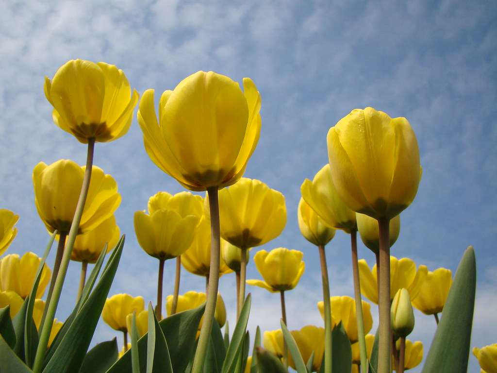 3d Wallpaper Pinterest Yellow Tulips Tulips Field In Netherlands Linus Flickr