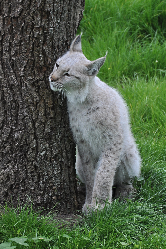 Wild Animals 3d Wallpapers White Eurasian Lynx Witte Euraziatische Lynx Of Los