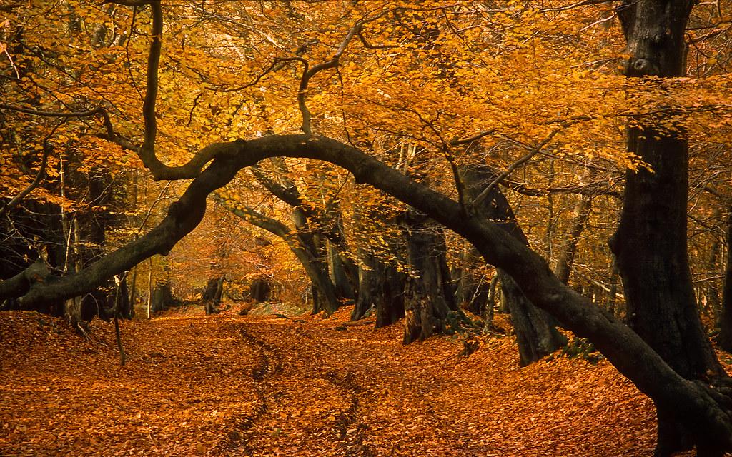 Fall Wooded Wallpaper Lady S Walk Ashridge Forest Hertfordshire England Lat