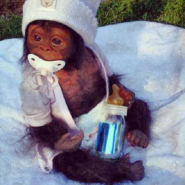 Cute Monkey Wallpaper Cute Baby Gorilla Chimpanzee Monkey Bottle Milk Dr