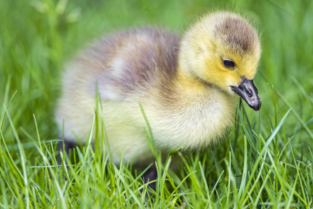 Cute Duck Wallpaper Cute Fluffy Goose Chick This Is A Cute And Fluffy Goose