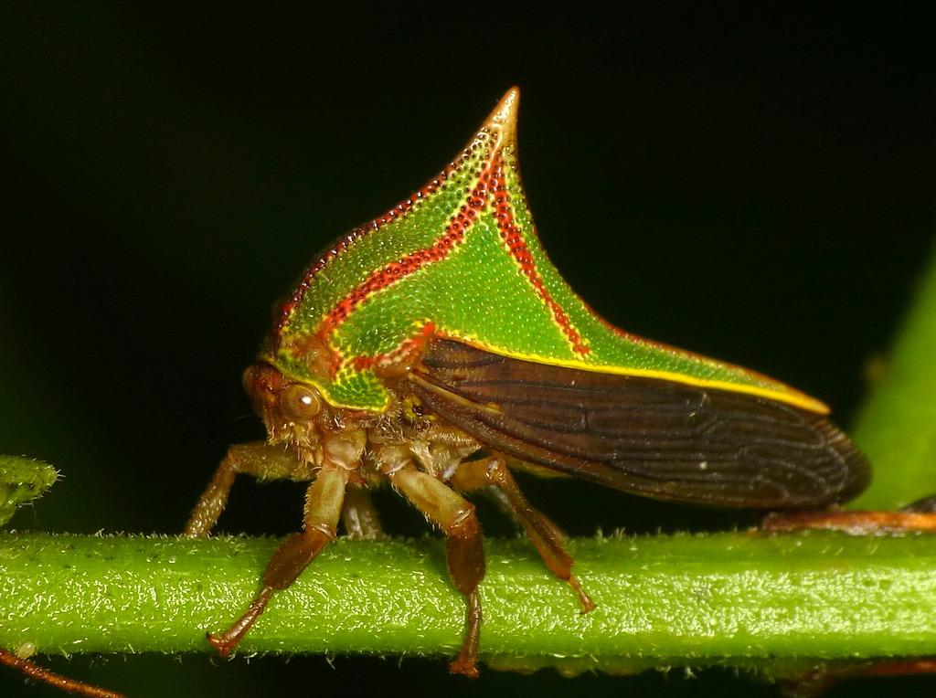 World Map 3d Wallpaper Treehopper Umbonia Spinosa Membracidae Andreas Kay
