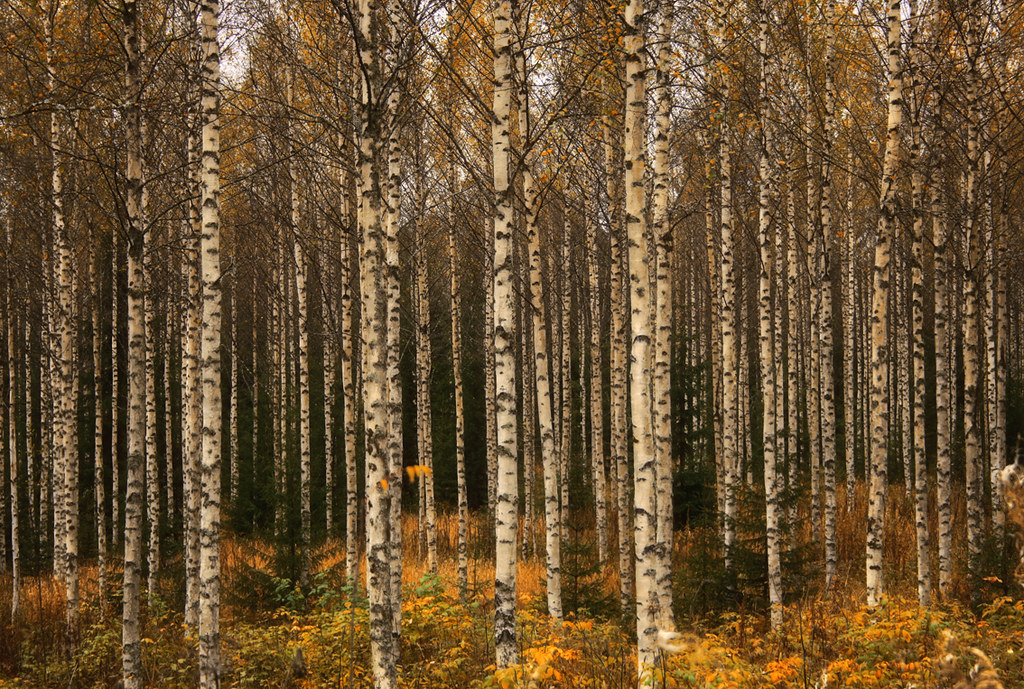 Fall Trees Wallpaper Birch Forest Birch Forest During Autumn In Finland Sept