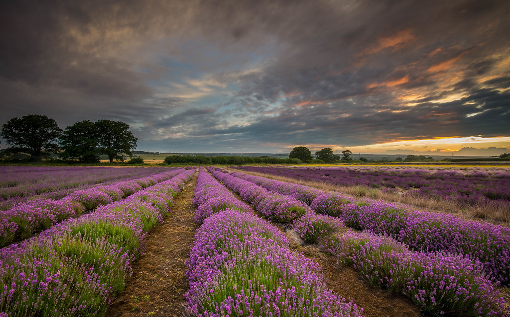 3d Pink Wallpapers Hd Lavender Fields Hampshire Chris Pope Flickr