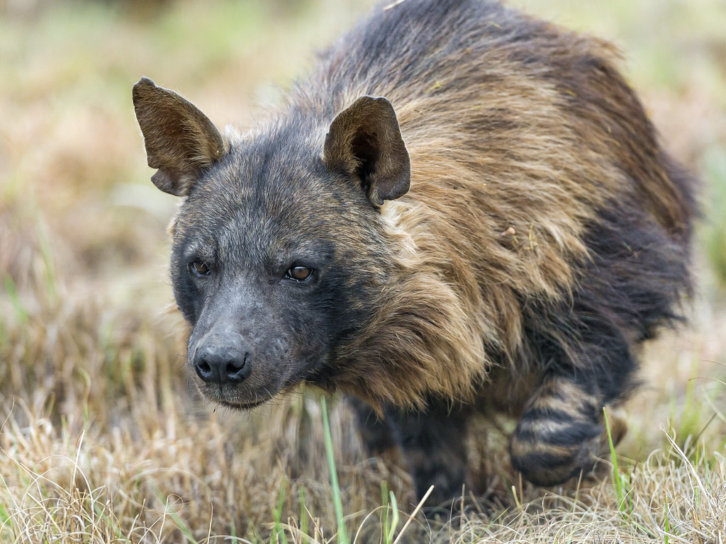 3d Picture Wallpaper Walking Brown Hyena Another Brown Hyena Picture