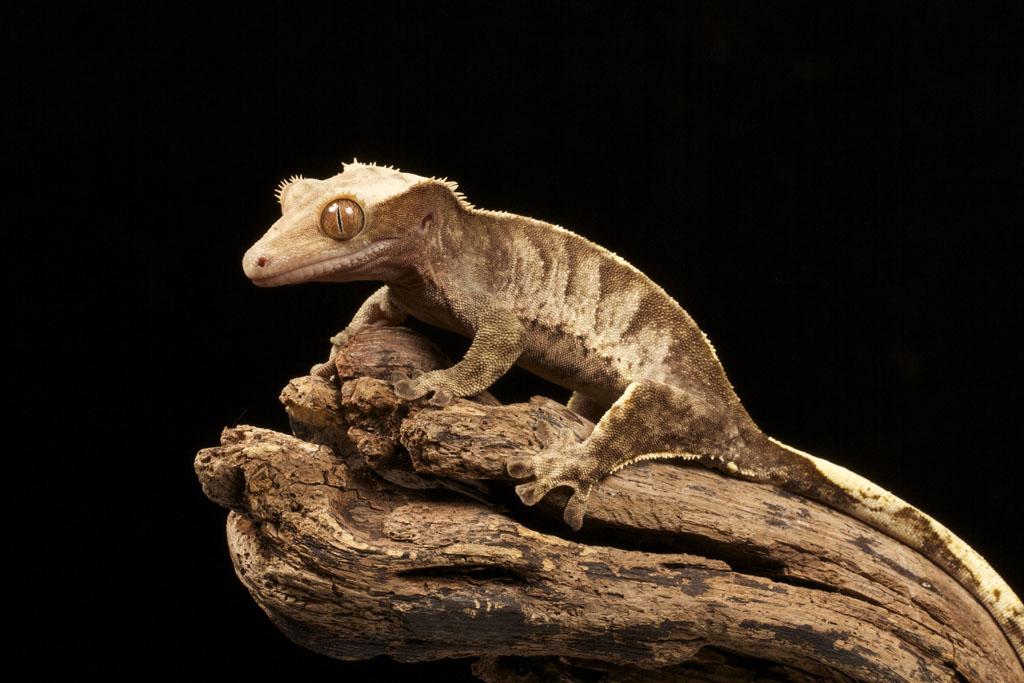 Cute Leopard Gecko Wallpaper Correlophus Ciliatus ♀ New Caledonian Crested Gecko Flickr